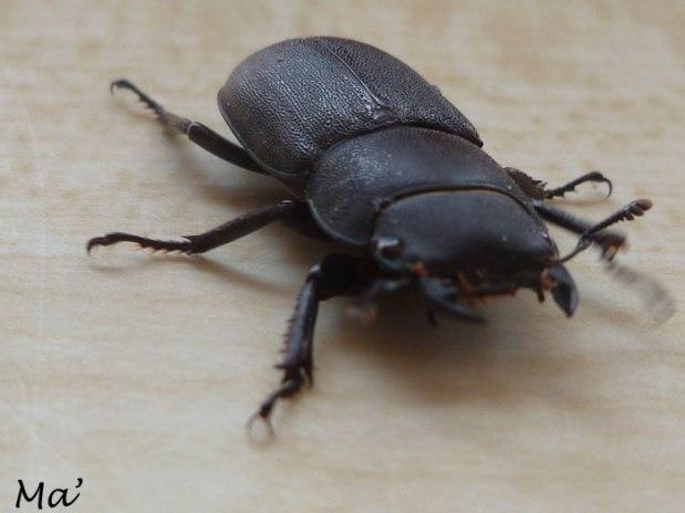 140628_scarabee1